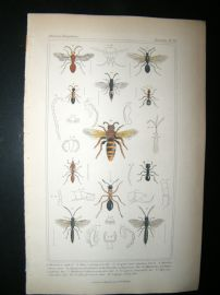 Cuvier C1835 Antique Hand Col Print. Formica, Atta, Mutilla, 79 Insects